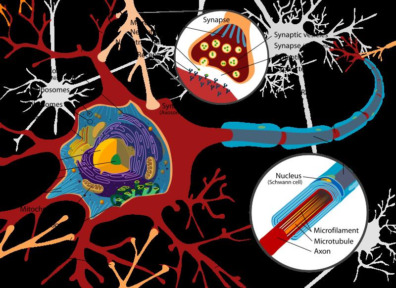 How Brain Cells Work