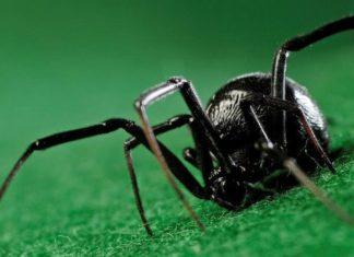 Black Widow Spider Facts Featured