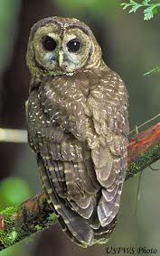 Mexican Spotted Owl can be seen at Mesa Verde