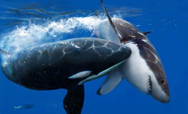 Orca attacks a great white shark