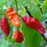 Red Naga Chili