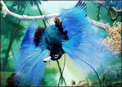 Blue Bird of Paradise