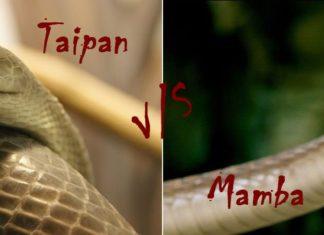 Inland Taipan Vs Black Mamba Featured