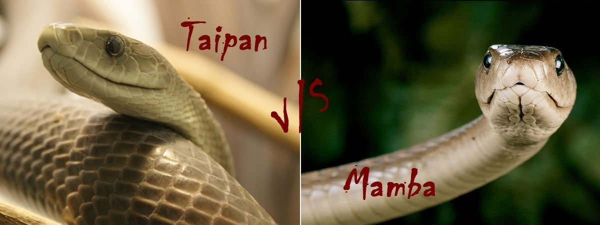 Inland Taipan Vs Black Mamba Featured