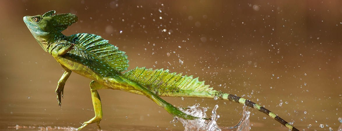 Jesus Christ Lizard Facts Featured