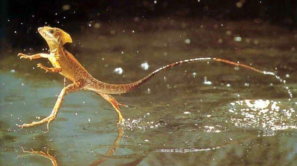 Jesus Christ Lizard On Water