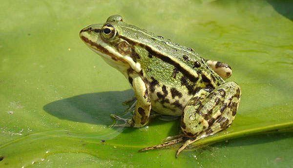 Frog was the first animal to be cloned by nuclear transfer of embryonic cells
