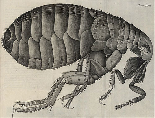 Flea diagram by Robert Hooke